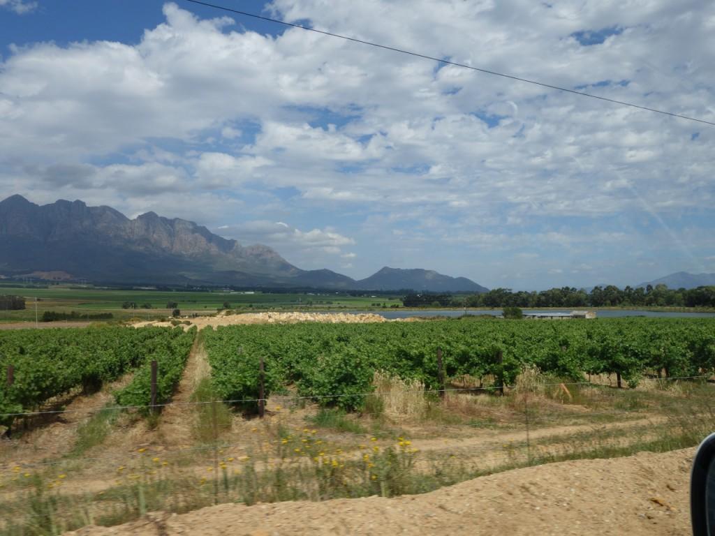 Anbau von Weinreben im grossen Stil