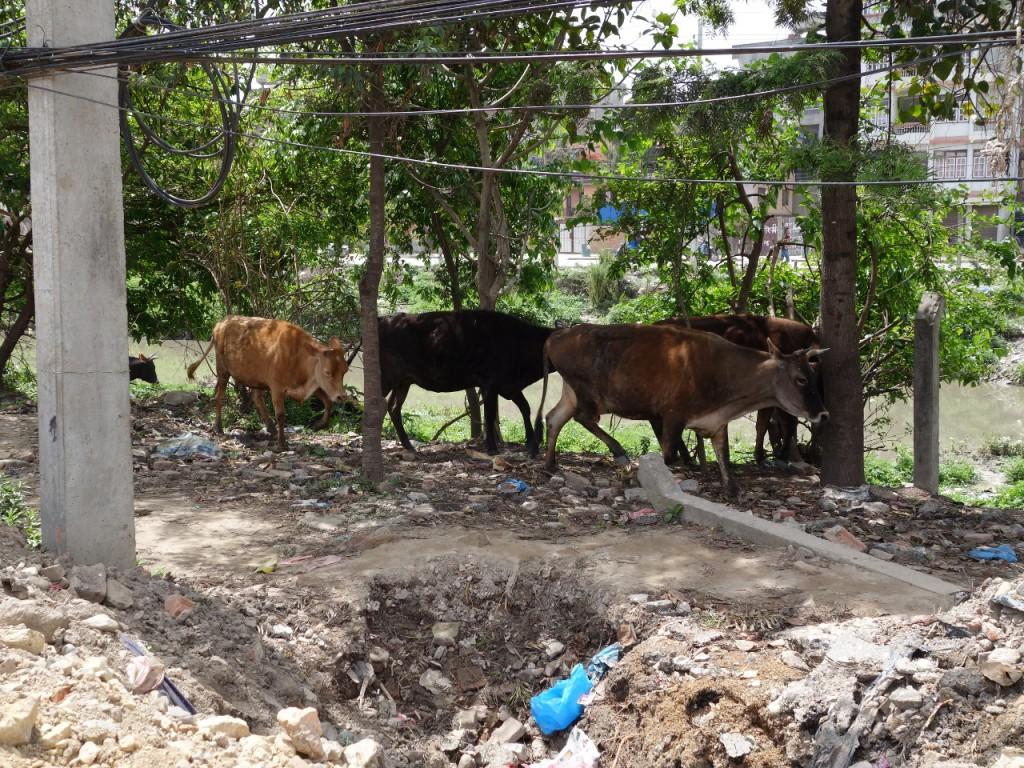 Vieh in der Stadt